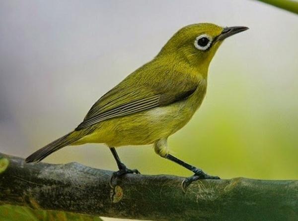 cara menjinakkan burung pleci